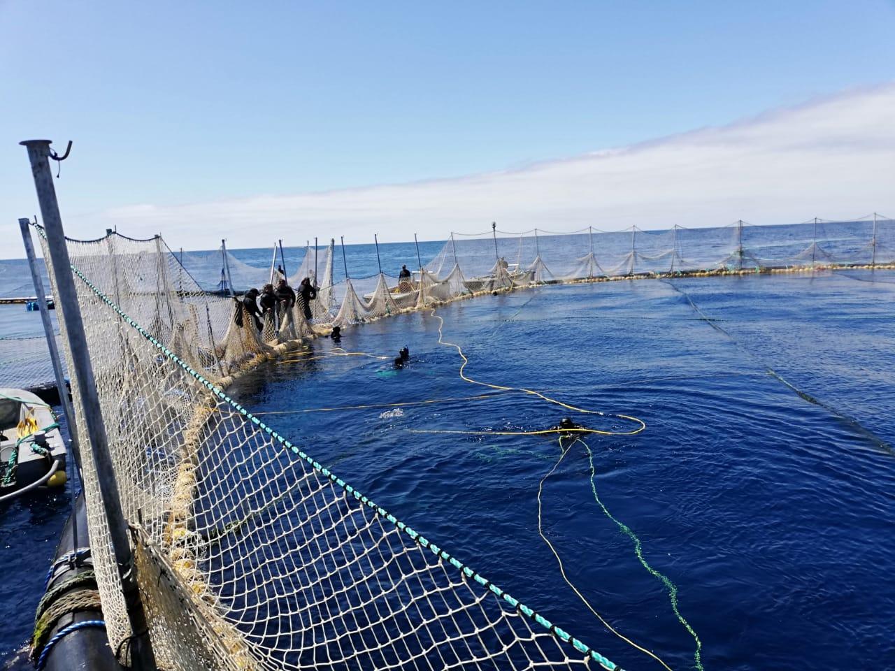Son liberadas 245 toneladas de atún aleta azul, en compensación por la sobrecaptura de la temporada 2018