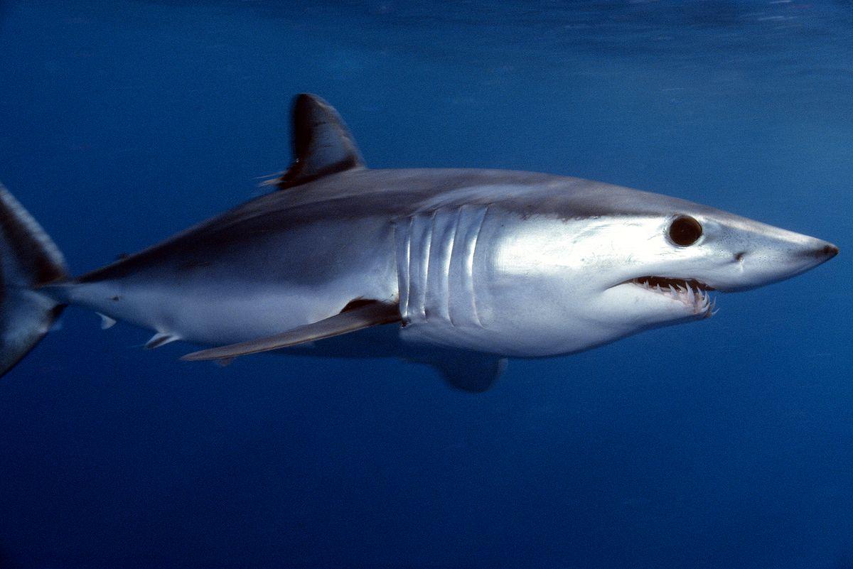 Entra en vigor veda a la pesca de tiburones y rayas en los litorales nacionales